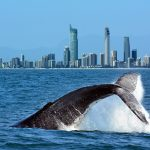 Humpback whale breaching Gold Coast